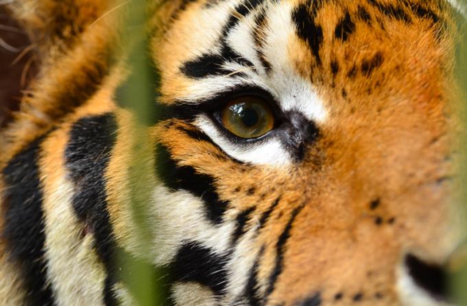 International Tiger Day2014